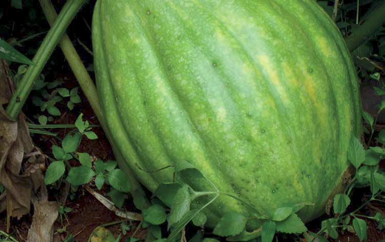 A pumpkin treated with bio-slurry