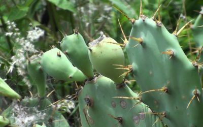 Managing invasive Opuntia Prickly Pear Cactus with T-Rex Biogas Technology